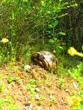 Turtle in the forest Royalty Free Stock Images