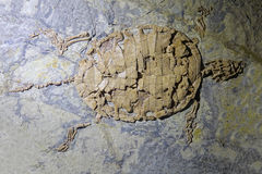 Turtle fossil. The close-up of turtle fossil stock photos