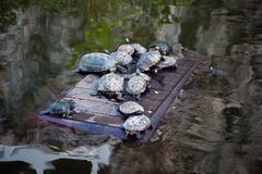 Turtle. Freshwater turtle in a park. Royalty Free Stock Photo