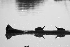 Turtle Friends. A couple of turtles hanging out on a log Stock Photos