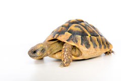 Turtle in front of white background. One turtle in front of white background Royalty Free Stock Images
