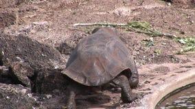 Turtle on Galapagos. Amazing reptiles. Wildlife animals. Nature of Ecuador. Herbivorous inhabitants of ocean stock footage
