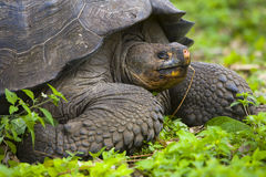 Turtle from Galapagos Island. Eating Stock Photos