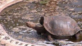 Turtle on Galapagos. Amazing reptiles. Wildlife animals. Nature of Ecuador. Herbivorous inhabitants of ocean stock video