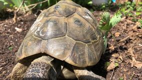 Turtle on garden earth passing by. Turtle coming closer to to camera and leave stock footage