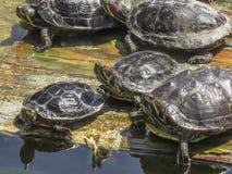 Turtle gathering at El Dorado East Regional Park. Stock Photo