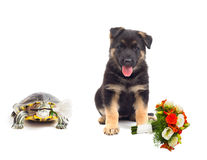 Turtle and a German Shepherd puppy Royalty Free Stock Photography