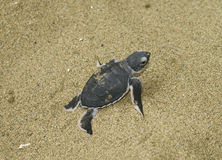 Turtle  get out from sand Stock Photography