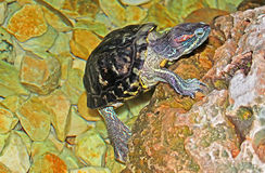 Turtle getting out of water. In the move Royalty Free Stock Images
