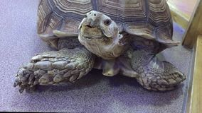 Turtle. giant old turtle Dipsochelys gigantea In animal the contact zoo stock footage