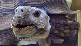 Turtle. giant old turtle Dipsochelys gigantea In the contact animal zoo stock video footage