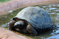 Turtle. Giant turtle in the water Stock Photo