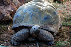 Turtle. Giant turtle in the zoo Stock Image