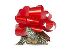 Turtle - a gift. Royalty Free Stock Images