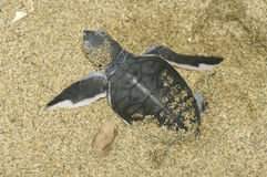 Turtle give birth Stock Photos