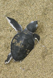 Turtle give birth Stock Image