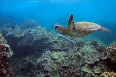 Flying Turtle. A turtle glides over the Hawaiian corals Royalty Free Stock Images