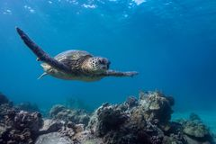 Turtle Gliding. A green sea turtle glides over the corals Stock Photo
