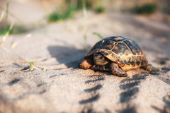 Turtle goes slowly in the sand with its protective shell Stock Photo