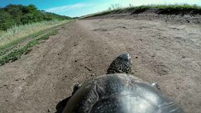 Turtle going on road. With a natural sound stock video