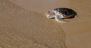 Turtle is going into the sea on the sand beach Royalty Free Stock Photography