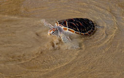 Turtle is going into the sea on the sand beach Stock Photo