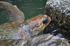 Turtle going for a Swim Royalty Free Stock Photo