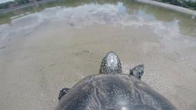 Turtle going to river. Turtle plunges under water close-up stock video footage