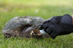 Turtle on a golf course Stock Photos