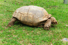 Turtle gone astray. This turtle was looking quite angry Stock Images