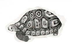 Turtle. Graphic pen turtle drawing Stock Images