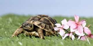 Turtle on grass Royalty Free Stock Images