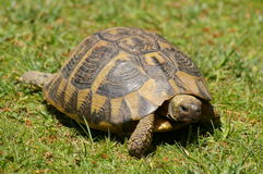 Turtle on grass Royalty Free Stock Photography