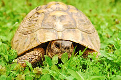 Turtle in grass Stock Photo
