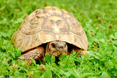 Turtle on grass Stock Photo