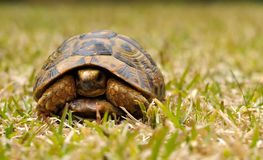 A turtle on grass Royalty Free Stock Image