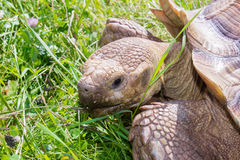 Turtle in grass Royalty Free Stock Images