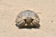 Turtle in the grass in Dobrogea. Turtle in the grass in Dobrogea Stock Photo