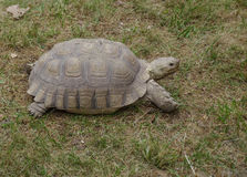 Turtle in the grass. Turtle in the dry green grass Stock Images