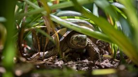 Turtle in grass Royalty Free Stock Photos