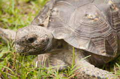 A Turtle in the Grass Stock Photography