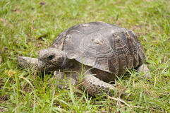 A Turtle in the Grass Stock Images