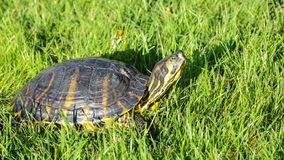 Turtle in the grass. Reptile turtle in the grass, park Retiro, Madrid royalty free stock photography