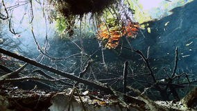 Turtle in grass and roots in Mexico cenote. Turtle in the grass and roots in cave Mexico Sacred Mayan Cenote. Deep underground clean and clear fresh lake in stock video footage