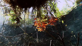 Turtle in grass and roots in Mexico cenote. stock footage