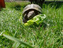 Turtle Grass Salad Animal Schildkröte Essen Eating stock image