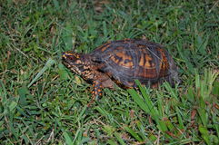 Turtle In Grass Royalty Free Stock Photography