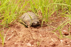 Turtle in the grass. Stock Image