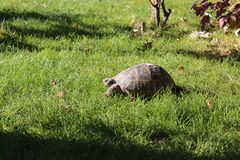 A turtle on grass speeds up. Or down. It does not really matter. stock photography