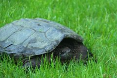 Turtle in the Grass. Turtle walking in the Grass Stock Image